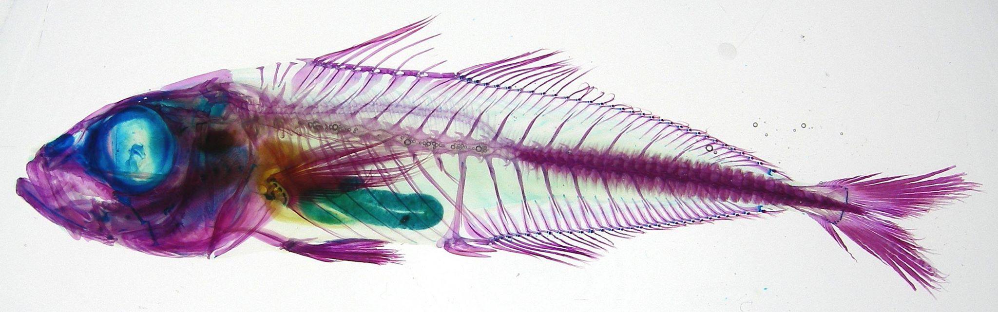 マアジの透明骨格標本